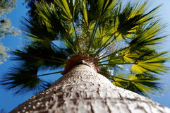 Palm Tree. Looking up a palm tree Royalty Free Stock Image