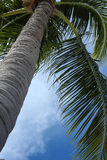 Palm tree. Looking up into a palm tree with a blue sky in the background Royalty Free Stock Photos