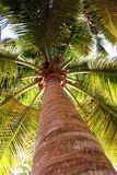 Palm tree from low view. Palm tree from low angle view in caribbean Royalty Free Stock Image