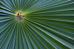 Palm Tree Macro. Up close, the fronds of this palm create a beautiful abstract of lines and colors Royalty Free Stock Image
