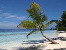 Palm Tree in the Maldives. Lone palm tree on a deserted tropical beach in the Maldives Stock Image