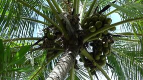 A palm tree with many coconuts. A palm tree on which many mature coconuts are hanging stock video