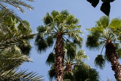 Palm tree in Maroc. Palm trees and blue sky in Maroc Royalty Free Stock Photos