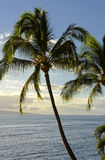 Palm Tree on Maui Royalty Free Stock Photos