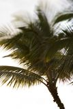 Palm tree in Maui, Hawaii. Royalty Free Stock Photos