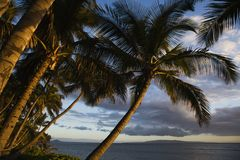 Palm tree in Maui, Hawaii. Stock Photos
