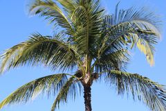 Palm Tree in Maui Hawaii Royalty Free Stock Photography
