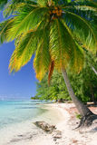 Palm tree, Moorea Stock Image