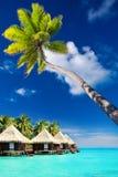 Palm tree on Moorea Island hanging over lagoon. Palm tree on Moorea Island hanging over blue lagoon Royalty Free Stock Photo