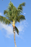 Palm tree with morning moon on a clear sky. The top of a palm tree with the morning moon on a clear sky Stock Photography