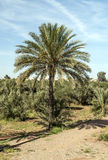 Palm tree Morocco in the field Stock Images