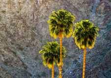 Palm Tree Mountain Desert Sunrise. Three majestic desert palm trees swaying in the gentle desert breeze as the morning sun rises above the mountain top and its royalty free stock photos