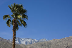Palm Tree and Mountains. In Palm Springs, California, a palm tree waves in front of the snow crested San Jacinto mountains Stock Photography