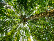 Palm Tree. In My Tho, Vietnam Royalty Free Stock Photography