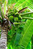 Palm tree with natural green coconuts Royalty Free Stock Photo
