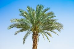 Palm tree in nature. With clear blue sky royalty free stock photo