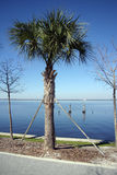 Palm Tree needing support. Palm Tree in Florida requiring support Royalty Free Stock Photo