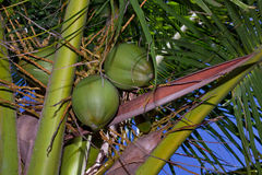 Palm Tree Nuts Royalty Free Stock Photos