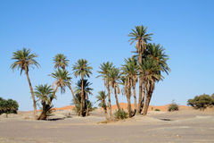 Palm tree oasis in sand desert Royalty Free Stock Image