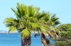 Palm tree on ocean shore. Royalty Free Stock Image