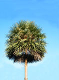 Palm tree. Oil palm  is  monocots and long lifespan and can live to 80 - 100 years.    It is also  planted as a  decorative  and ornamental plants Stock Images