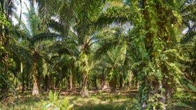 Palm tree oil plantation Royalty Free Stock Photos