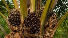 Palm tree oil Royalty Free Stock Photography