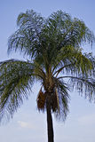 Palm Tree with Orange Fruit Royalty Free Stock Images