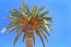 Palm tree with orange fruits on blue sky Royalty Free Stock Photo