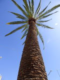 Palm tree Ovalle, Chile Royalty Free Stock Photos