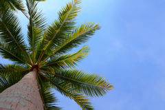Palm tree over blue sky Stock Images