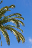 Palm tree over a blue sky Royalty Free Stock Image