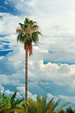 Palm tree over blue sky with cumulus clouds Stock Photos