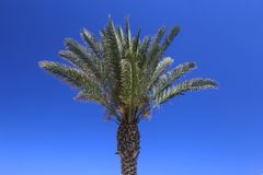 Palm Tree over Blue Sky Royalty Free Stock Photo