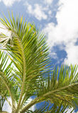 Palm tree over blue sky with white clouds Stock Photos
