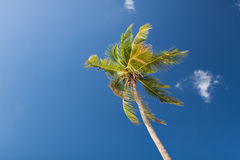 Palm tree over blue sky with white clouds Stock Image