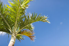 Palm tree over blue sky with white clouds Royalty Free Stock Photo