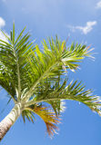 Palm tree over blue sky with white clouds Stock Images