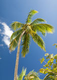 Palm tree over blue sky with white clouds Royalty Free Stock Photography