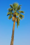 Palm Tree Over Clear Blue Sky Royalty Free Stock Image
