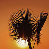 Palm tree over sunset Stock Images