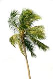 Palm tree over white. Palm tree isolated over white Royalty Free Stock Photo