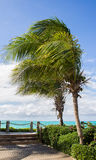 Palm tree overhanging boardwalk Royalty Free Stock Images