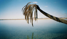 Palm tree overhanging desert oasis Stock Images