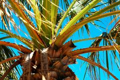 Palm tree. With branches and leaves in the park Royalty Free Stock Image
