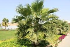 Palm tree. Shot in garden. Dubai Stock Images