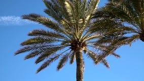 Palm tree. On the wind in Palma de Mallorca stock footage