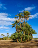 Palm tree in the Palmeraie of Skoura, Morocco Stock Photos