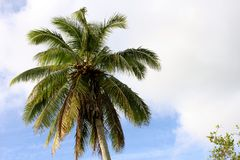 Palm Tree in Paradise. Beachside in the incredible Cook Islands Stock Photo