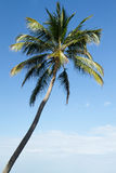 Palm tree paradise. A single palm tree against an incredible blue Caribbean sky Stock Photography